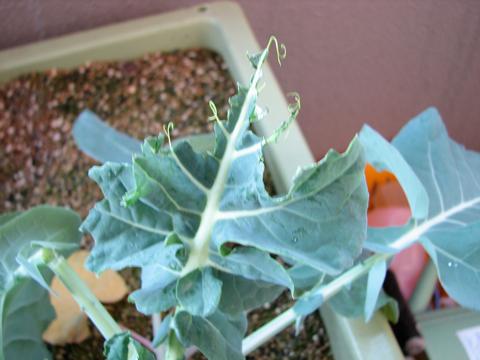 ぼろぼろになったブロッコリーの葉