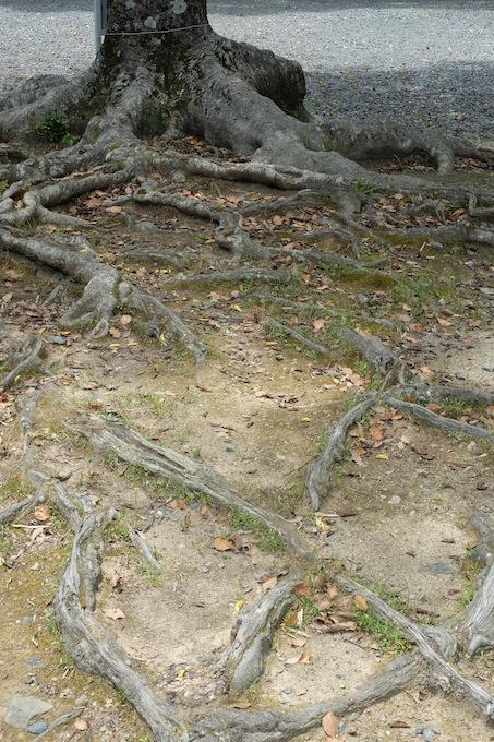 長岡天満宮 木の根