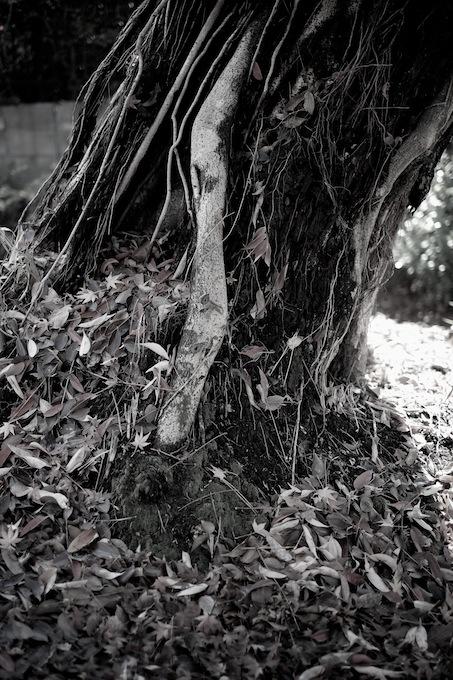 幹と紅葉の落ち葉|北野天満宮|京都紅葉