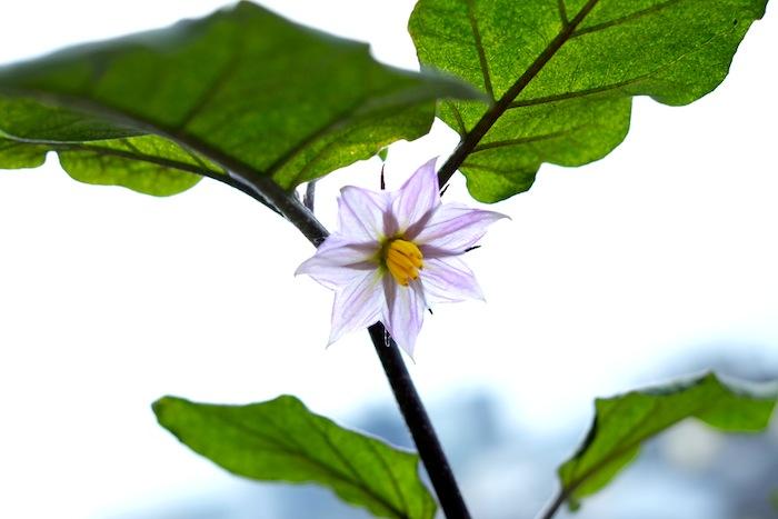 肥料不足の茄子の花
