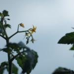ベランダで咲くミニトマトの花