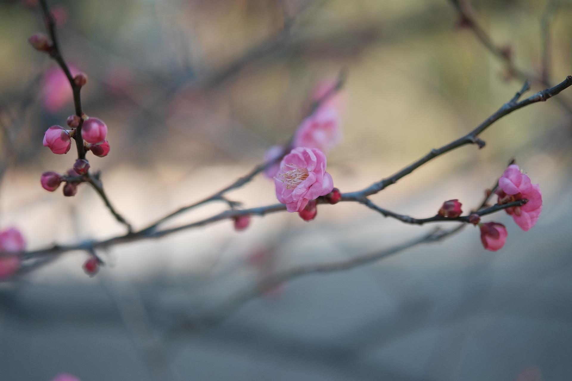 蕾もふっくら、既に咲いている花もある