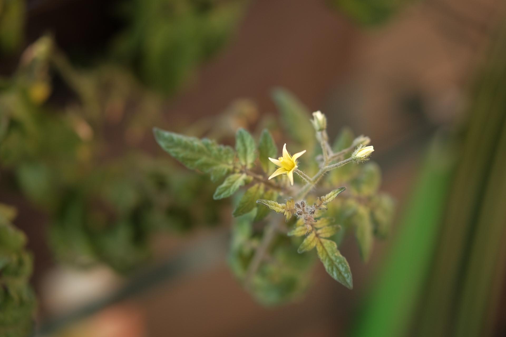 ベランダトマトの花
