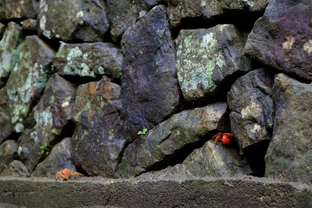 長崎 五島列島 頭ヶ島天主堂の石垣に棲むサワガニ
