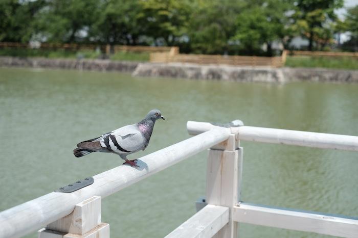 長岡天満宮 鳩