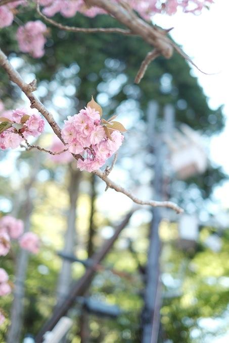 八重桜:比叡山