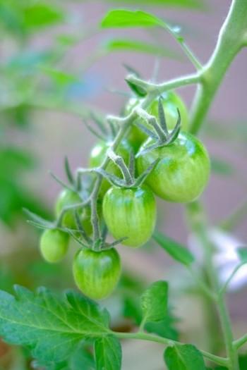 中玉トマト ルビーノ