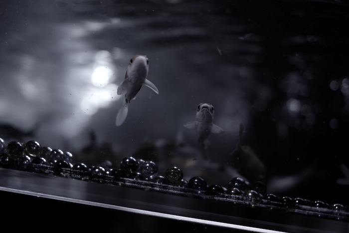 二条城金魚4