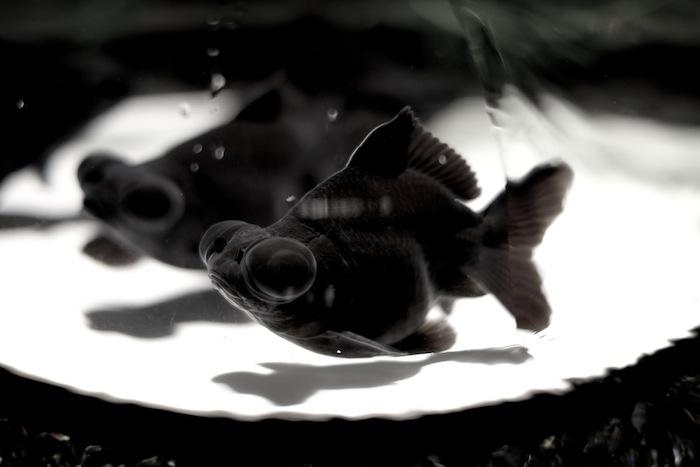 二条城金魚5
